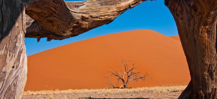 Uschnięte drzewa camelthorn na pustyni Namib, swą nazwę wzięły od słów w afrikaans: Kameelperd - żyrafa i doring - kolec.