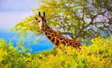 Kenia, safari w Kenii. Tsavo