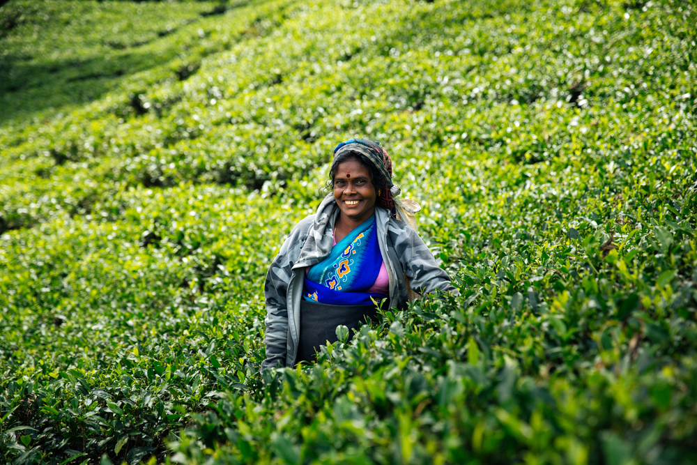 Sri Lanka - plantacje herbaty